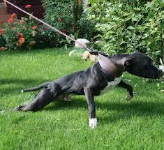 american pit bull terrier registry 55 best bully love images on pinterest american pitbull pitbull
