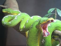 a green snake wallpapers emerald tree boas do not need light to catch their prey they have