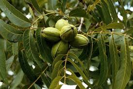 What Fruit Trees Grow In Texas - don u0027t rule out pecans hackberries and mulberries san antonio