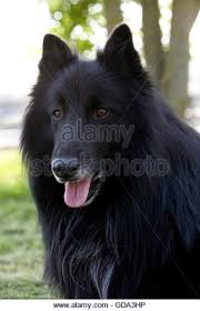 belgian sheepdog groenendael sale dog belgian shepherd groenendael stock photos u0026 dog belgian