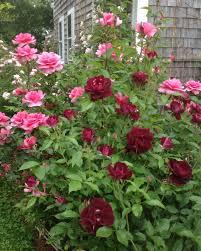 Rose Garden Layout by Rose Garden Design Tips Hgtv