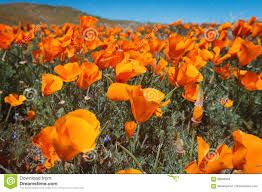 wildflower explosion at antelope valley california poppy reserve