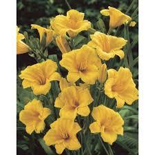 Stella Daylily Bloomsz Daylily Stella D U0027oro Flower Bulb Walmart Com