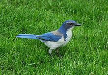california blue california scrub