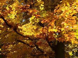 fagus sylvatica free images beech fagus sylvatica deciduous tree golden
