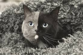 cat with two faces has an even split of grey and black fur daily