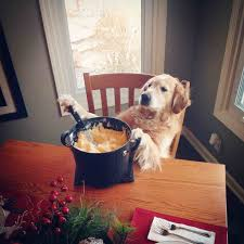 thanksgiving dog thanksgiving dinner is not for dogs luv my dogs