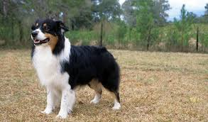 australian shepherd double coat australian shepherd breed information
