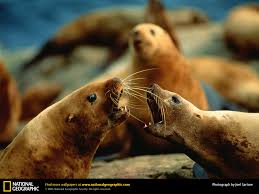 sea lion picture sea lion desktop wallpaper free wallpapers