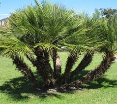 mediterranean fan palm tree estrella canyon nursery mediterranean fan palm