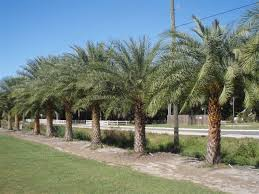 sylvester palm tree sale large selection of trees palms at ta tree nursery