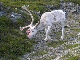 white reindeer hledat googlem nezvykle zbarvení jelenovití