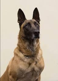 belgian sheepdog crossword witchita police say goodbye to beloved dog rooster