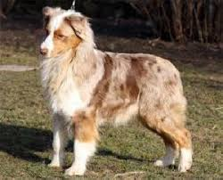 d b australian shepherds australian shepherd tanmark u0027s asian rice ice id 5126