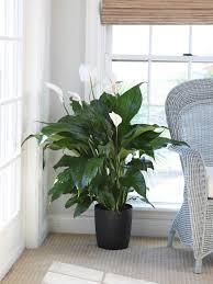 Fragrant Indoor Plants Low Light - indoor plants low light hgtv