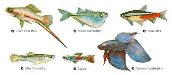 aquaticszone list of freshwater tropical community fish part i