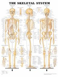 Anatomy Of Women Body Best 10 Skeletal System Ideas On Pinterest Anatomy Anatomy Of
