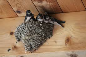 Barn Swallow Nest Pictures Free Photo Barn Swallows Mutterglück Free Image On Pixabay