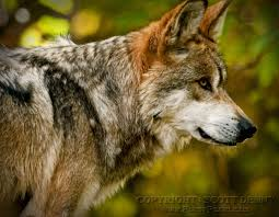 watchful eye gray wolf aka canis lupus baileyi