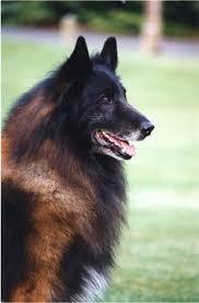 belgian shepherd black pin by mollar on doggy pinterest dog and shepherd dog
