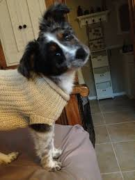 australian shepherd eyesight 18 best pups images on pinterest baby animals puppies and