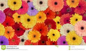 gerber daisies stock photo image of spring botanical 1142310