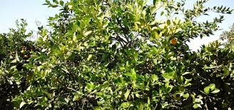 a bacteria could stop citrus greening disease from killing orange