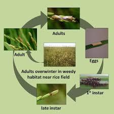 rice stink bug cycle