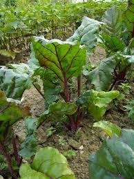 cuisiner les feuilles de betteraves rouges cuisiner les feuilles de betteraves rouges 56 images mille