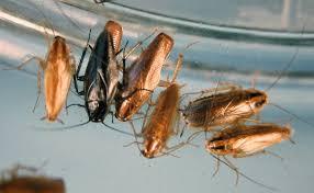 Baby Roaches In Bathroom B Germanica Strains 2874 Jpg