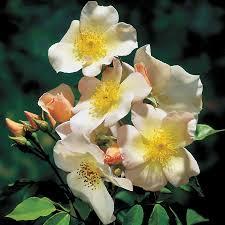 sally holmes climbing rose at jackson and perkins