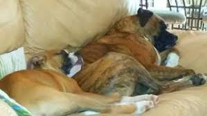 2 types of boxer dogs having two boxer dogs what you need to know