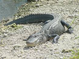 alligator pictures kids search