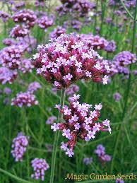 verbena flower argentinian vervain purpletop verbena bonariensis heritage