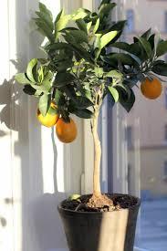 best 25 lemon tree potted ideas on lemon tree plants