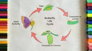 coloring butterfly life cycle coloring pages for learning colors