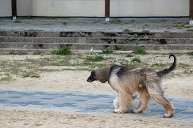 afghan hound least intelligent the 10 least obedient dog breeds u2013 iheartdogs com