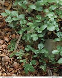 plants for pathways fine gardening