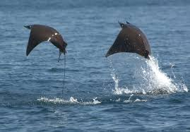 the amazing flying mantas of the sea of cortez mantawatch