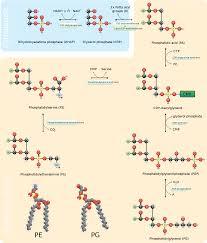 phosphatidylethanolamine wikipedia
