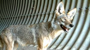 Can You Bury Animals In Your Backyard How To Keep Your Pets Safe From Coyotes