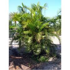 sylvester palm tree sale wholesale palm trees melbourne florida