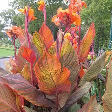 Canna Lilies Canna Tropicana Lily Canna Indica Indian Shot Rosita