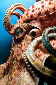 232 best underwater octopus nautilus u0026 squid images on pinterest