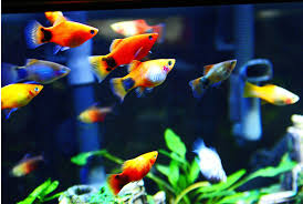 mickey mouse platy these fish are so cool animals