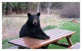 Bear At Picnic Table Meme - 20 hilarious animals behaving like humans page 5 of 5