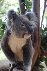 friends of the koala photo gallery friendsofthekoala org