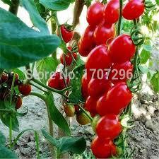 get cheap ornamental fruit aliexpress alibaba