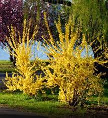 111 best gardening shrubs images on garden shrubs
