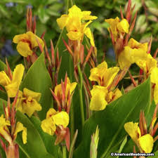 Cana Lilly Canna Lily Striped Beauty American Meadows